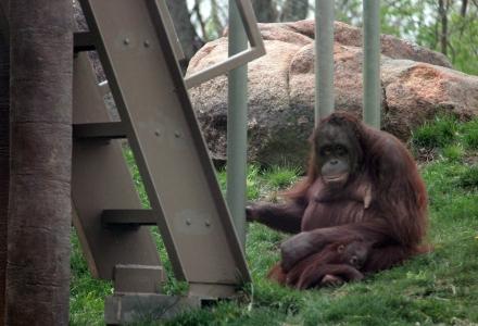Orangutan, Josie, with her first baby, Dusty.